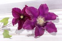 Primer de la cabeza de flor de la clemátide púrpura Foto de archivo