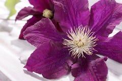 Primer de la cabeza de flor de la clemátide púrpura Fotografía de archivo