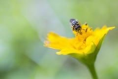 Primer de la cabeza de la abeja Imagen de archivo libre de regalías