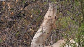 Primer de la cabeza del camello que come las hojas de ramas de árbol almacen de video