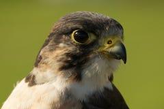 Primer de la cabeza del halcón de peregrino que hace frente a la derecha Imágenes de archivo libres de regalías