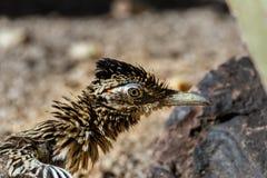 Primer de la cabeza en un mayor Roadrunner, plumas rizada Desierto molido y rocas en el backgroun Foto de archivo libre de regalías