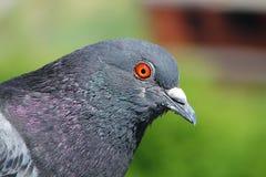 Primer de la cabeza y del cuello hermosos de la paloma Paloma urbana Foco selectivo foto de archivo