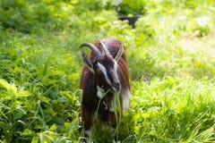 Primer de la cabra Foto de archivo
