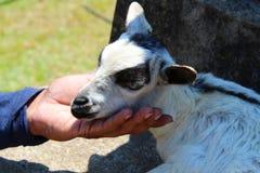 Primer de la cabra del bebé Imagenes de archivo