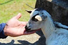 Primer de la cabra del bebé Imagen de archivo libre de regalías