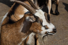 Primer de la cabra del color Foto de archivo libre de regalías