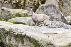 Primer de la cabra en el exterior Foto de archivo