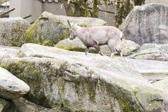 Primer de la cabra en el exterior Imagen de archivo