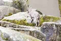 Primer de la cabra en el exterior Imagen de archivo libre de regalías
