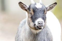 Primer de la cabra en el exterior Fotos de archivo