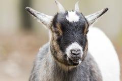 Primer de la cabra en el exterior Foto de archivo libre de regalías