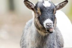 Primer de la cabra en el exterior Fotos de archivo libres de regalías