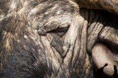 Primer de la cara del búfalo del cabo con el pequeño ojo y la textura fotos de archivo libres de regalías