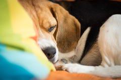 Primer de la cara del beagle el dormir Imagenes de archivo