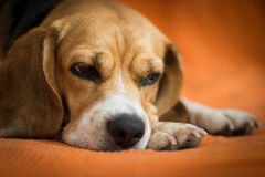Primer de la cara del beagle el dormir foto de archivo