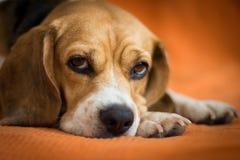 Primer de la cara del beagle el dormir Foto de archivo libre de regalías