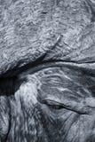 Primer de la cara del búfalo del cabo con el pequeño ojo y la textura Foto de archivo