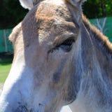 Primer de la cara del burro imágenes de archivo libres de regalías