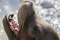 Primer de la cara del león marino de California con las barbas y los dientes caninos imagen de archivo