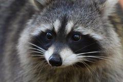 Primer de la cara del mapache Imagen de archivo
