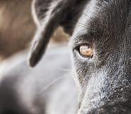 Primer 120 de la cara del perro negro Foto de archivo libre de regalías