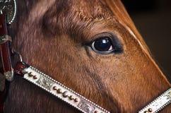Primer de la cara marrón del caballo Imagen de archivo