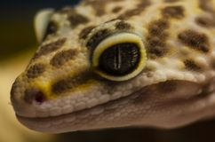 Primer de la cara de un animal doméstico eublephar de la salamandra del leopardo con un fondo borroso suave foto de archivo
