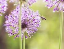 Primer de la cebolla ornamental púrpura floreciente Fotos de archivo