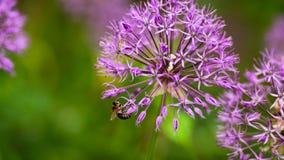 Primer de la cebolla ornamental púrpura floreciente con una abeja que recoge el néctar Foto de archivo