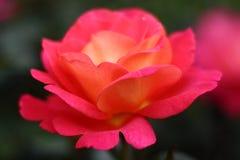 Primer de la chabola roja de la rosa en la rosaleda foto de archivo libre de regalías
