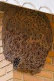 Primer de la colmena gigante de abejas sin aguijón Fotos de archivo