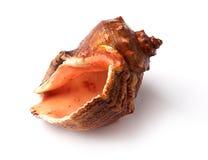 Primer de la concha marina claveteada grande en blanco. Foto de archivo libre de regalías