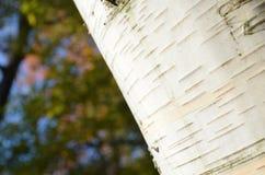 Primer de la corteza de árbol de abedul en ángulo Imágenes de archivo libres de regalías