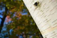 Primer de la corteza de árbol de abedul en ángulo Fotos de archivo