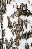 Primer de la corteza de árbol de abedul para el fondo Imágenes de archivo libres de regalías
