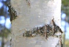 Primer de la corteza de abedul, bosque del abedul en verano Fotografía de archivo libre de regalías