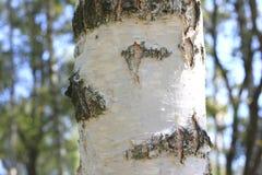 Primer de la corteza de abedul, bosque del abedul en verano Foto de archivo libre de regalías