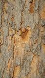 Primer de la corteza de un árbol viejo Foto de archivo libre de regalías