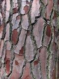 Primer de la corteza del pino Fotos de archivo libres de regalías