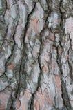 Primer de la corteza del pino Textura de la naturaleza, abstracta Fotos de archivo libres de regalías