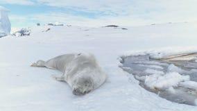 Primer de la costa del hielo de la Antártida del resto del sello de Crabeater metrajes