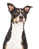 Primer de la cruz de Staffordshire Terrier Fotografía de archivo libre de regalías