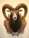 Primer de la ejecución del trofeo del cráneo del moufflon en la pared Foto de archivo libre de regalías