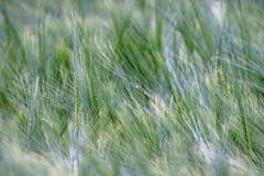 Primer de la falta de definición de la hierba Fotografía de archivo