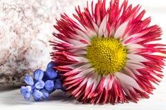 Primer de la flor blanca y roja de la margarita Imagen de archivo