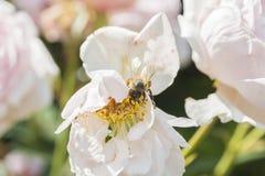 Primer de la flor color de rosa con una abeja Foto de archivo libre de regalías
