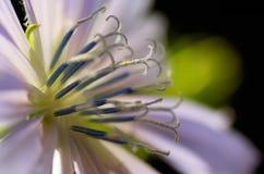 Primer de la flor común de la achicoria (intybus del Cichorium) Imagen de archivo