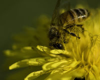 Primer de la flor de la abeja y del diente de león Foto de archivo