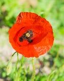 Primer de la flor de la amapola Fotografía de archivo libre de regalías